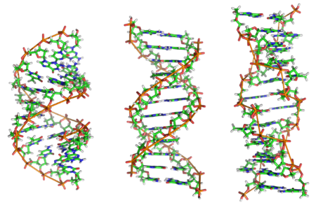 450px-A-DNA,_B-DNA_and_Z-DNA.png